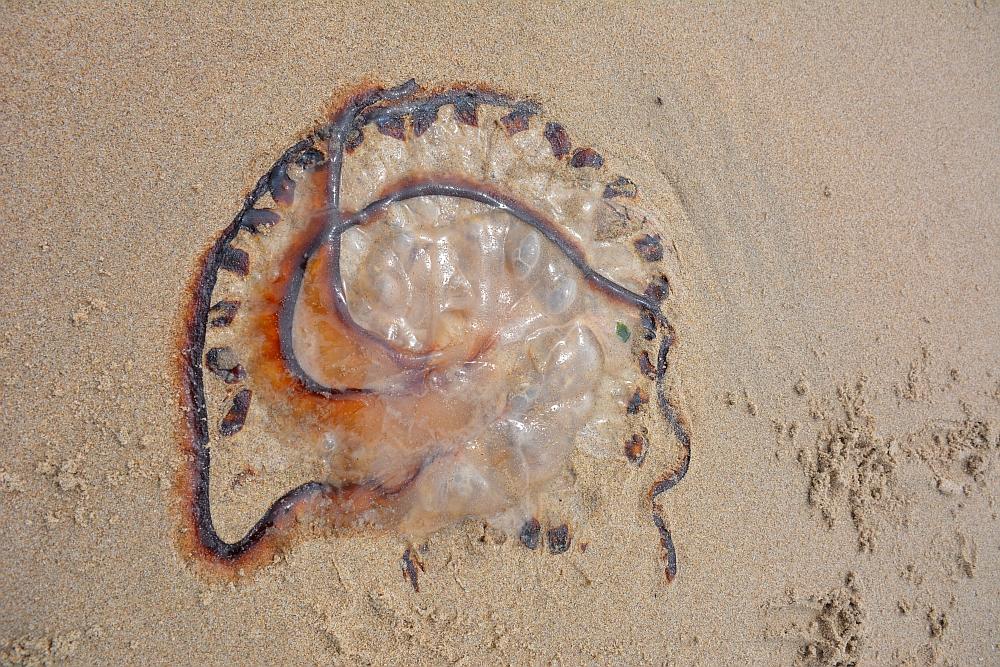 bijzondere kwal op strand  Scheveningen