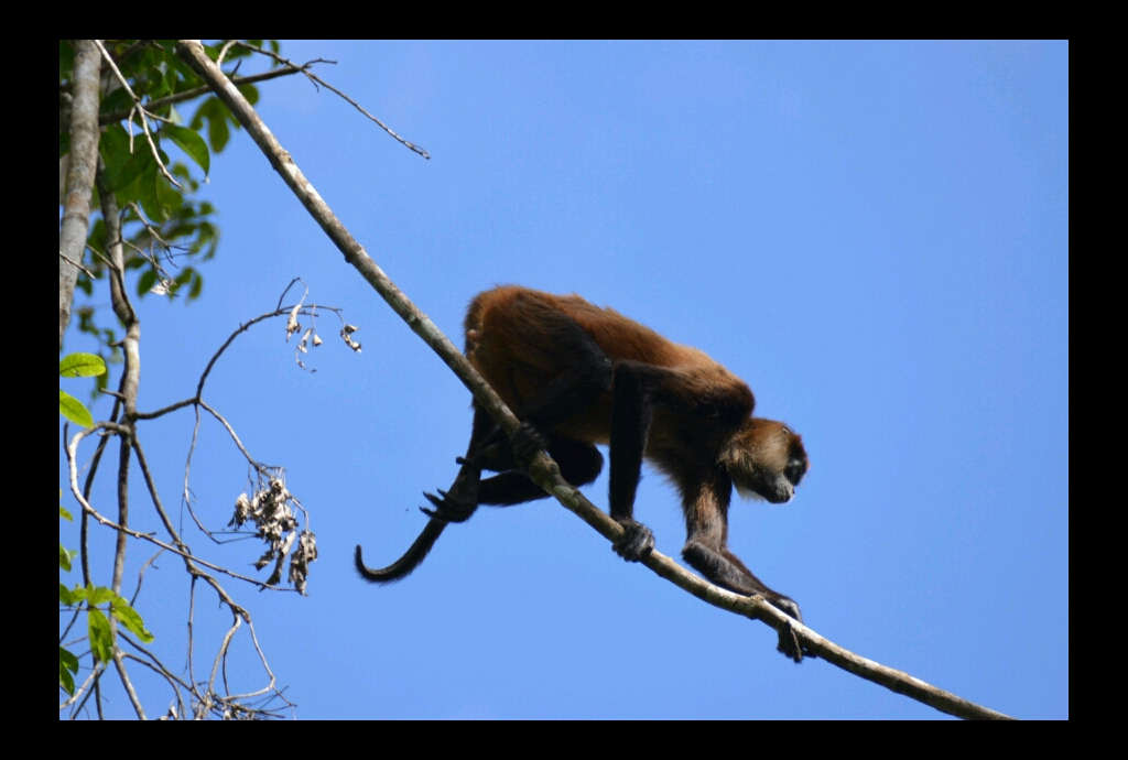 Indio Maiz, monkey
