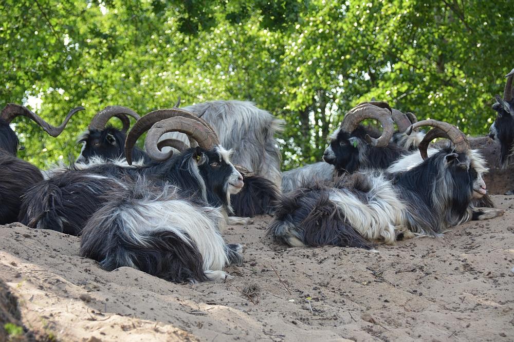 Wandelen in De Maasduinen de Duuvuelskuul schapen