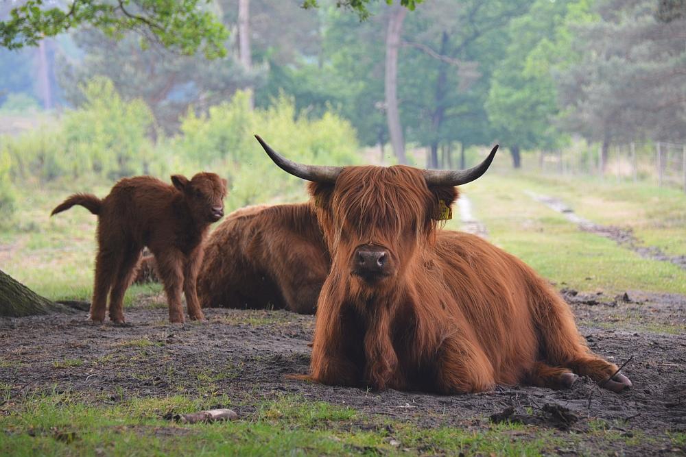 Wandelen in De Maasduinen, Schotse hooglanders met kalf