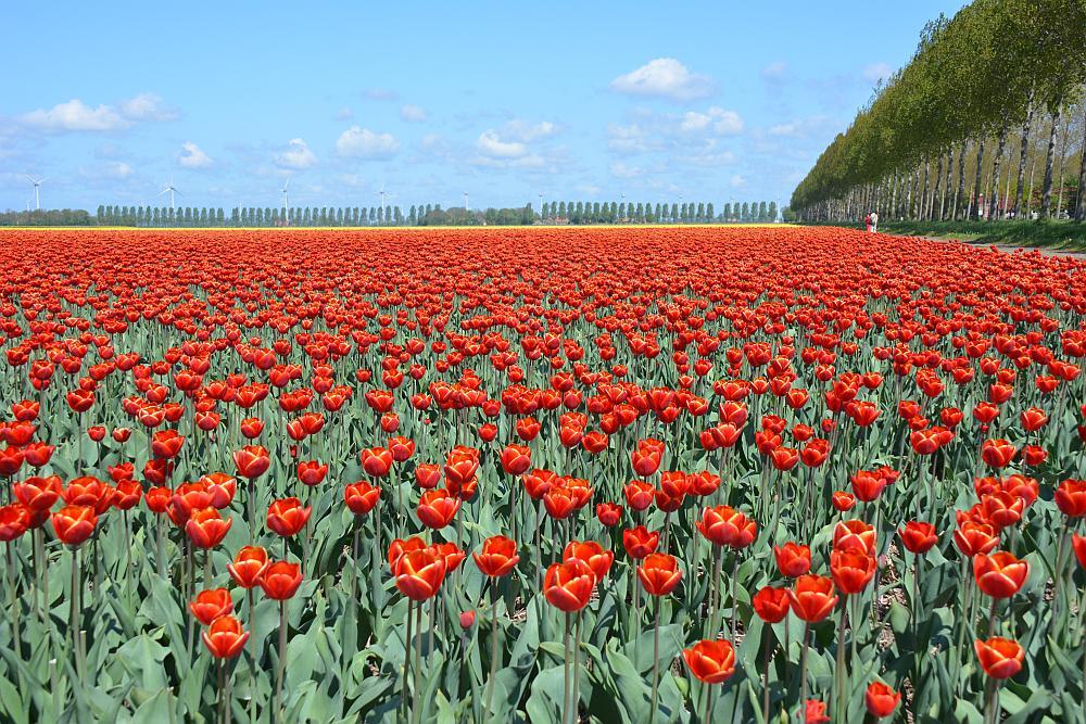 bloembollen in de Noordoostpolder