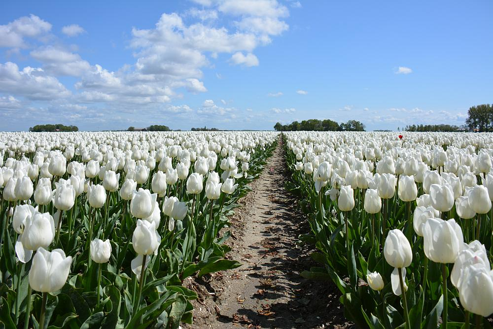 tulpenvelden Noordoostpolder