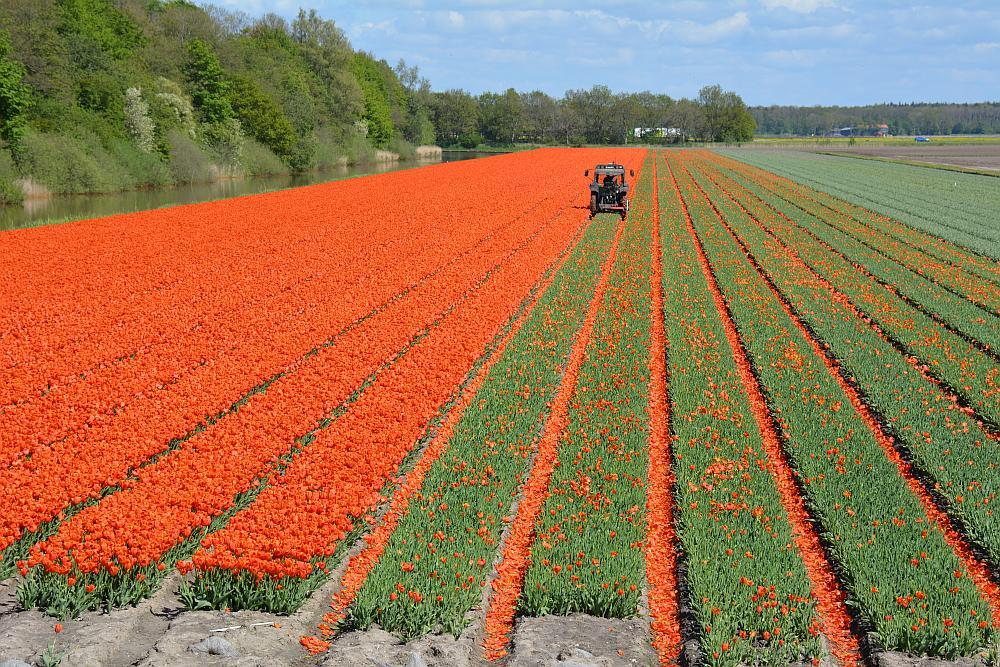 tulpenvelden Noordoostpolder, bollenvelden worden gekopt