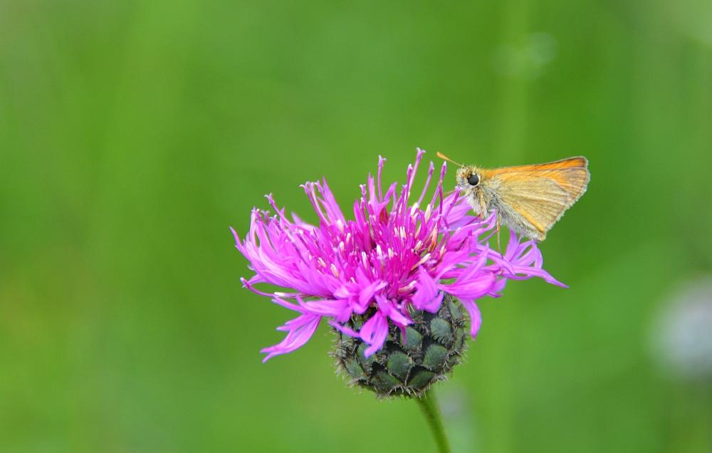 Altmühltal Panoramaweg vlinder