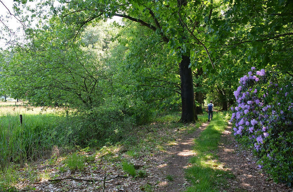 Bos en vennenwandeling bij Goirle rhodondendron