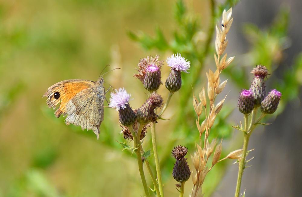 vlinder de Kampina Boxtel