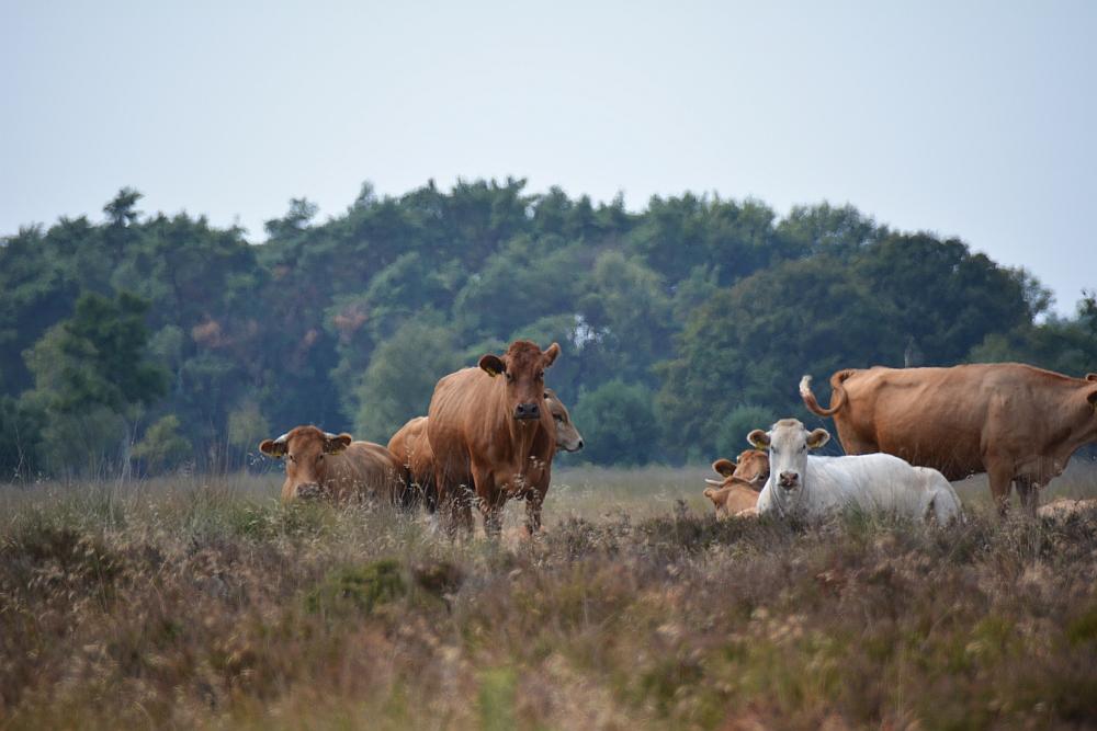 Wandelen en afval oprapen, koeien op de Kampina Boxtel