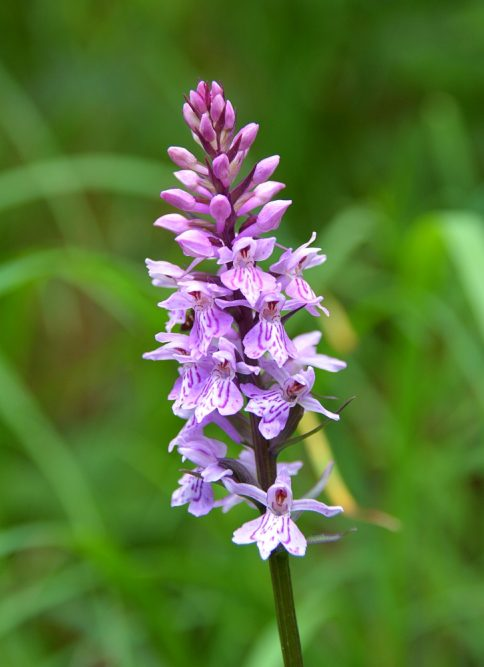 bergwandeling naar Piesenhausener Hochalm orchidee