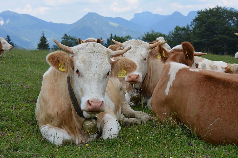 koeien op de de Oberauerbrunst alm