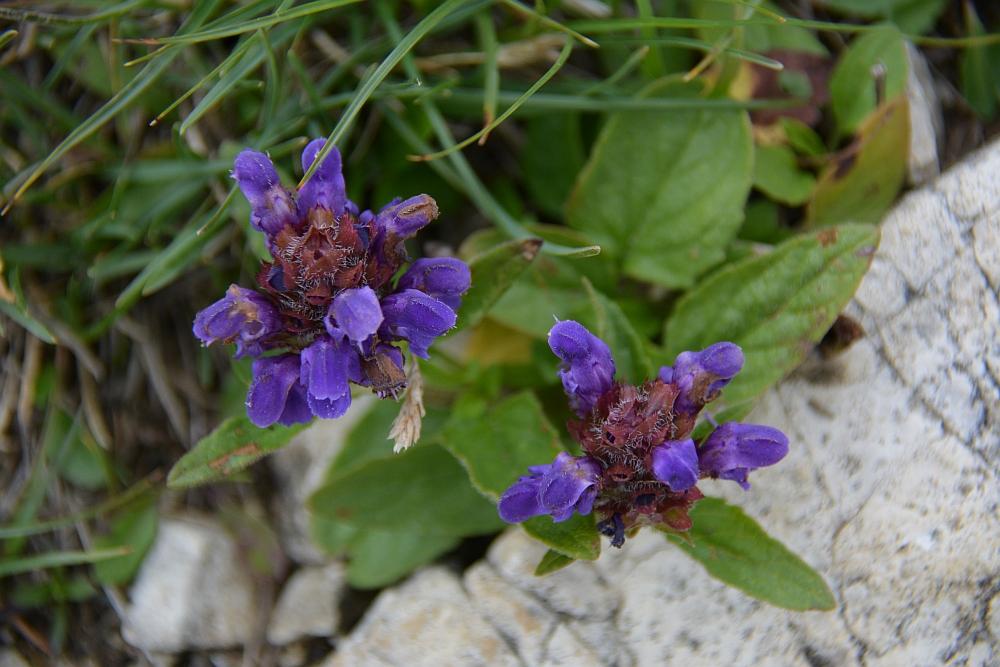 alpenbloemen Piesenhausener Hochalm