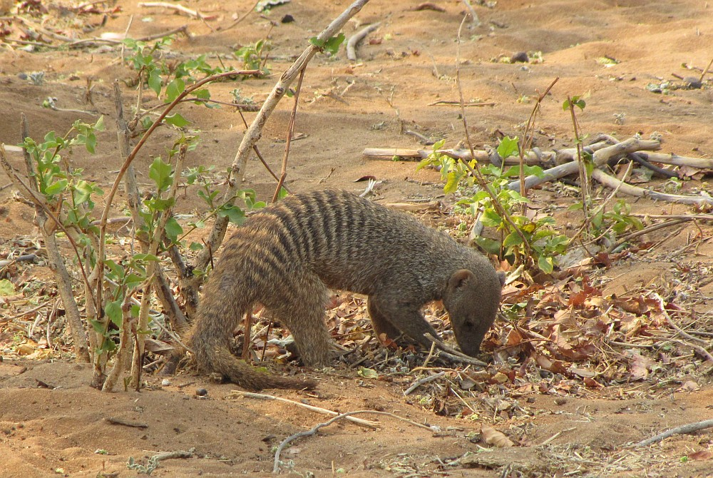 Game drive in n Chobe National Park, Mongoose