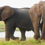 olifanten spotten in Chobe National Park
