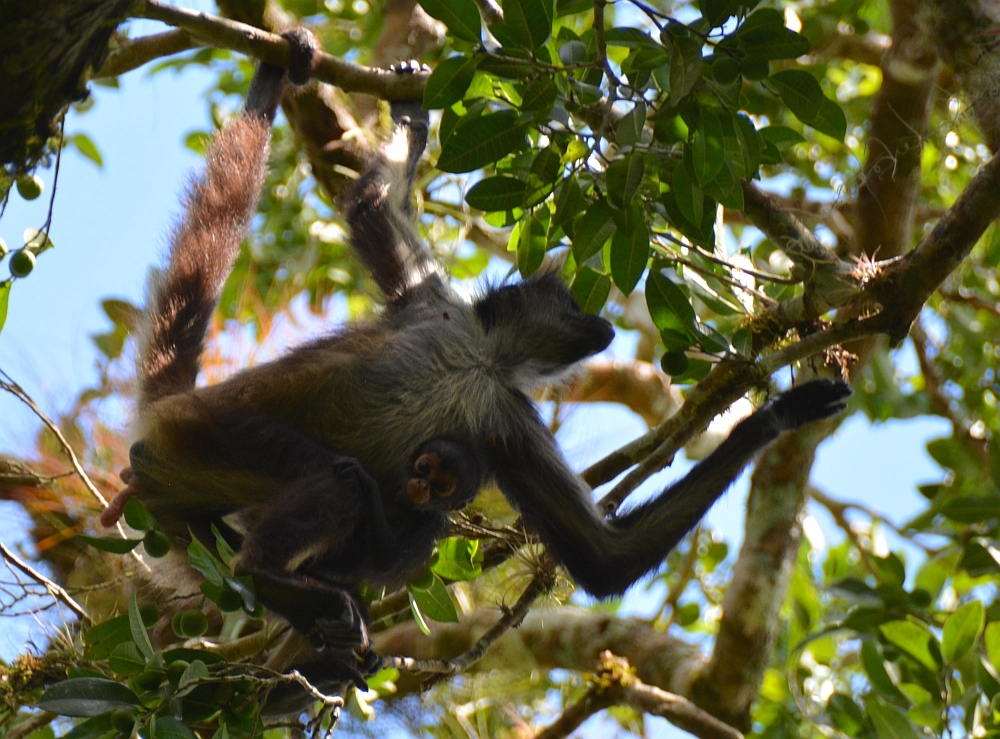 Spidermonkey at tempels Tikal