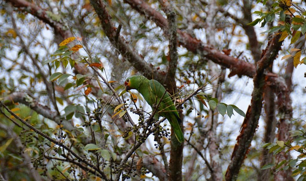 tempels van Tikal papegaai
