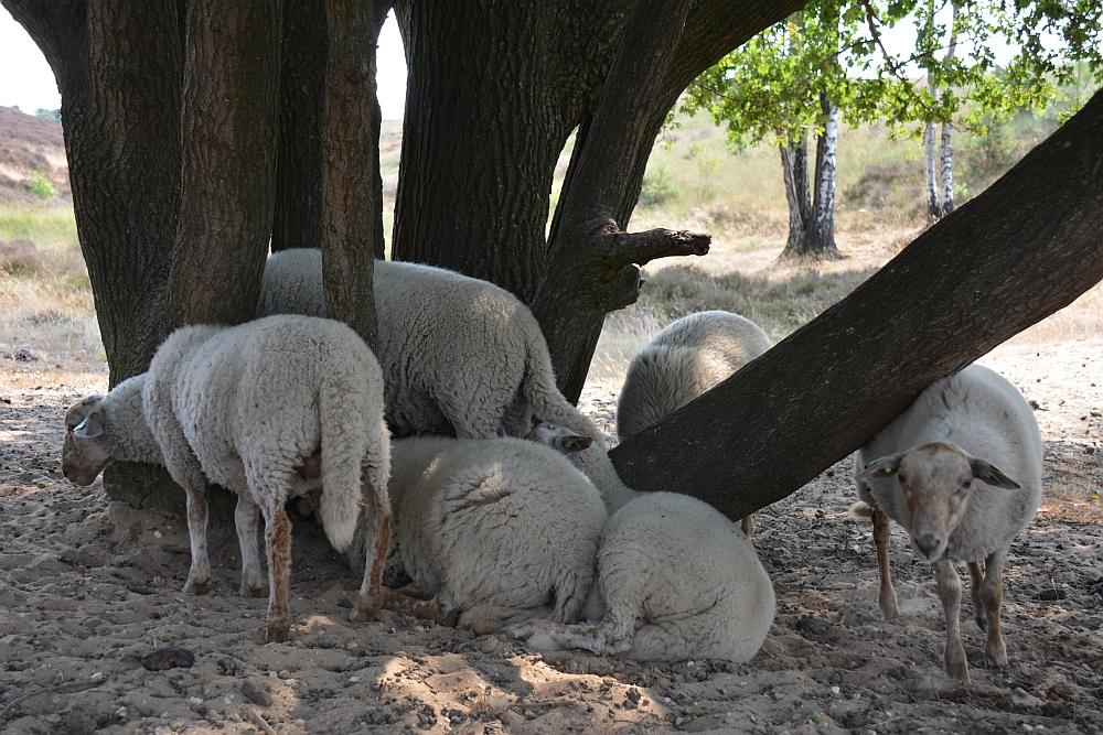 Walk of Wisdom, schapen op de Mookerheide