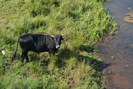 Walk of Wisdom van Grave naar Hernen stier zoekt verkoeling aan waterkant