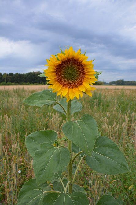 Walk of Wisdom van Hernen naar Winssen zonnebloem