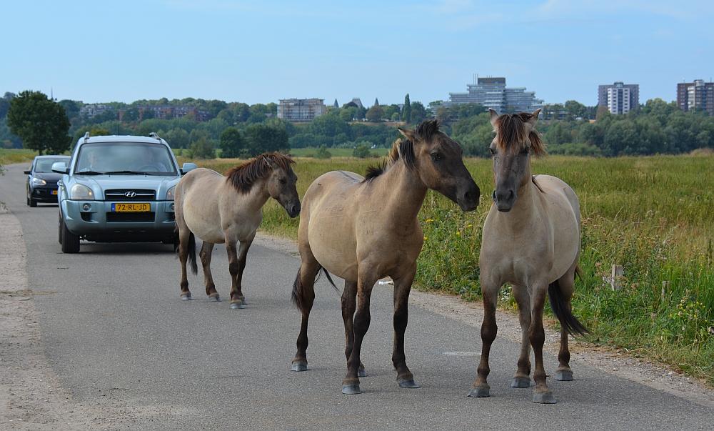 Auto versus Konikpaarden Ooijpolder