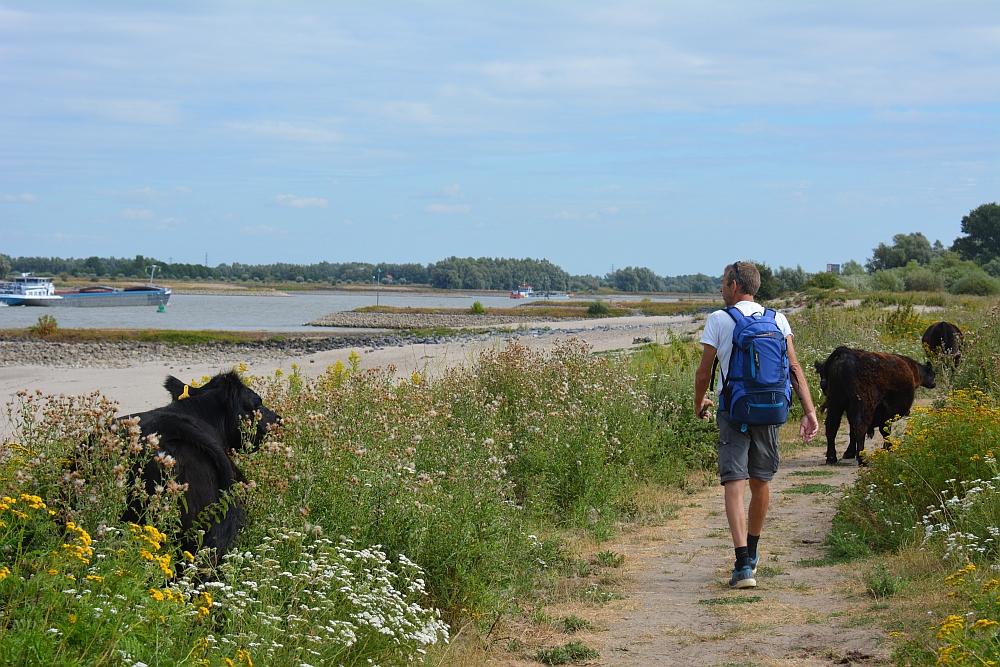 Walk of Wisdom van Nijmegen naar Groesbeek koeien op pad Ooijpolder