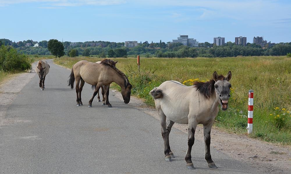 Walk of Wisdom van Nijmegen naar Groesbeek Konikpaarden in de Ooijpolder