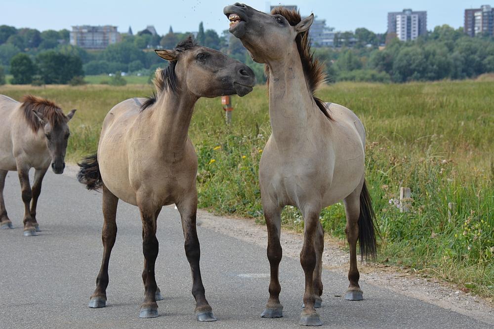 Walk of Wisdom van Nijmegen naar Groesbeek vechtende Konikpaarden in Ooijpolder