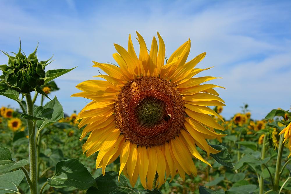Walk of Wisdom van Nijmegen naar Groesbeek zonnebloemen in de Ooijpolder