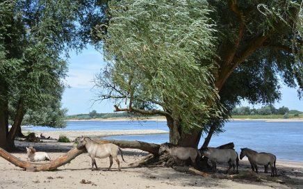 Walk of Wisdom van Winssen naar Nijmegen Koninkspaarden langs de Waal