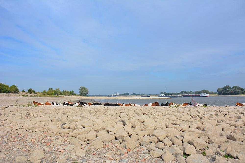 Walk of Wisdom van Winssen naar Nijmegen koeien langs de Waal