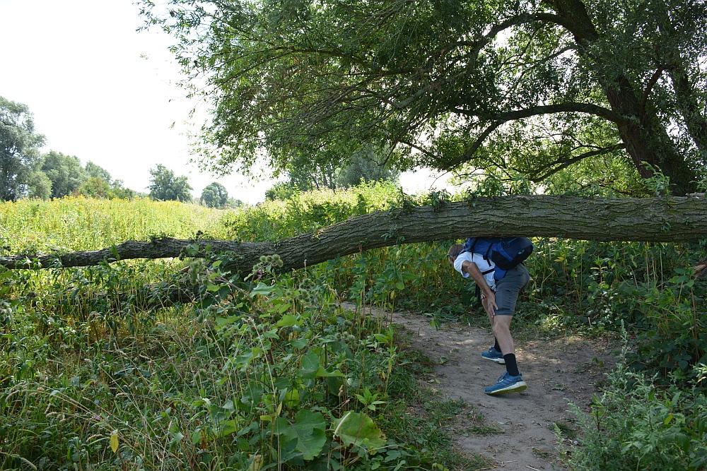 Walk of Wisdom van Winssen naar Nijmegen onder de omgevallen boom langs