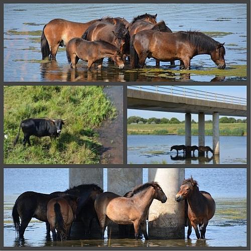 paarden in het water op hete dag bij hernen