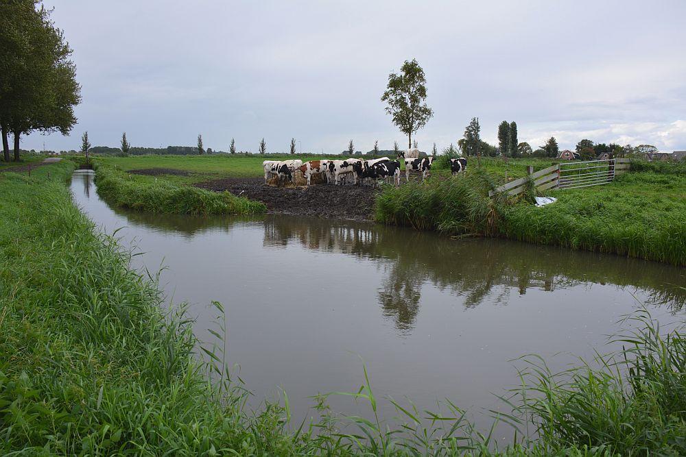 Fietsroute rond Medemblik koeien