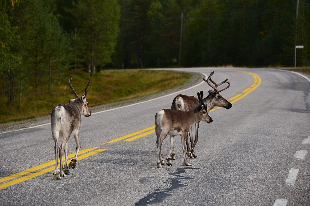 Rendieren op de weg in Fins Laplan