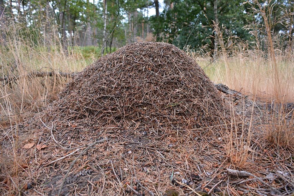 wandelen rond de Peelse heide mierenhoop