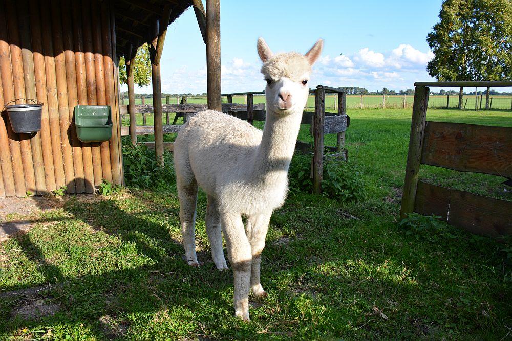 B&B ZusenZomer Oostwoud witte alpaca