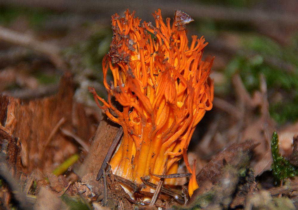 oranje koraalzwam tijdens paddenstoelenwandeling op de Cartierheide