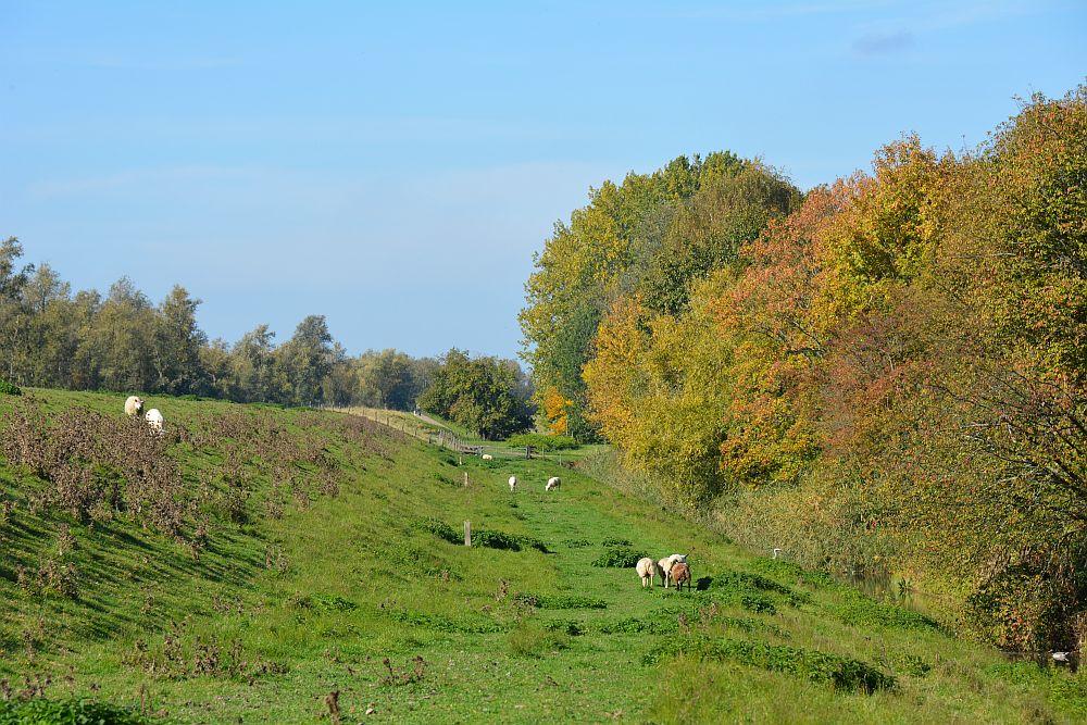 Maas en Vestingroute IJsselmonde schapen langs de route