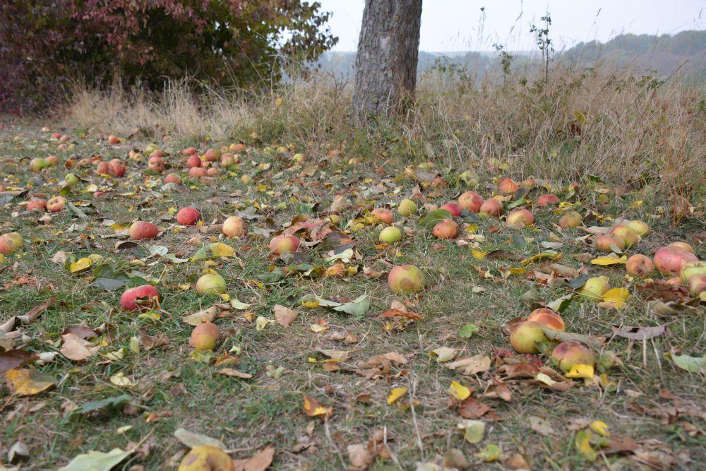 Overal liggen appels langs de Eltzer Burgpanorama naar Burg Eltz