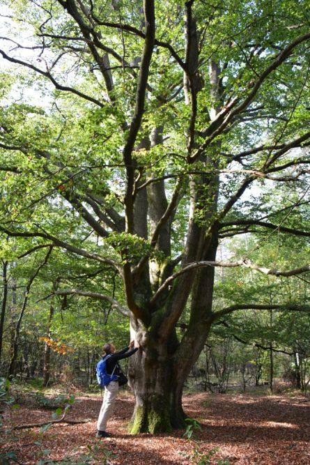 Trage tocht Hilvarenbeek grote beukenbomen