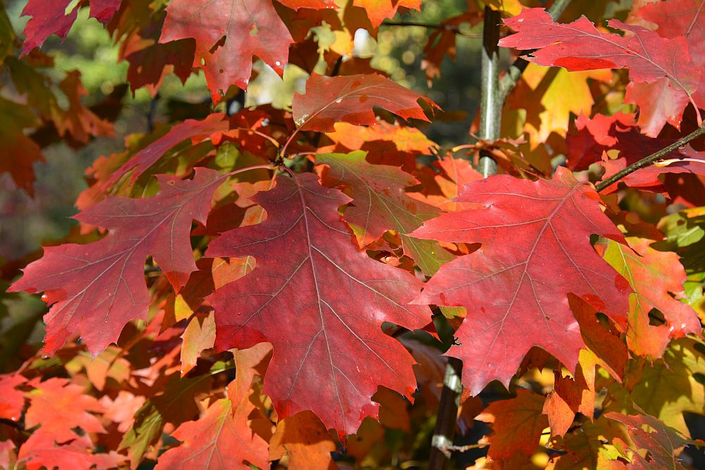 Wandelen in Soest rode herfstkleur Amerikaanse Eik