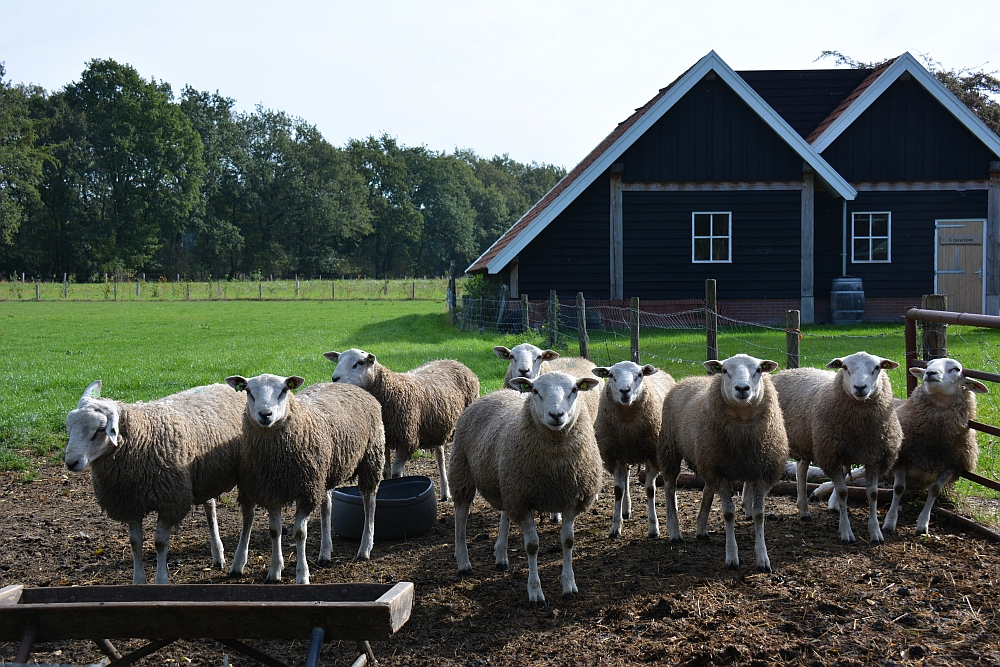 Wandelen in Twente deTrage tocht Hilvarenbeek schapen