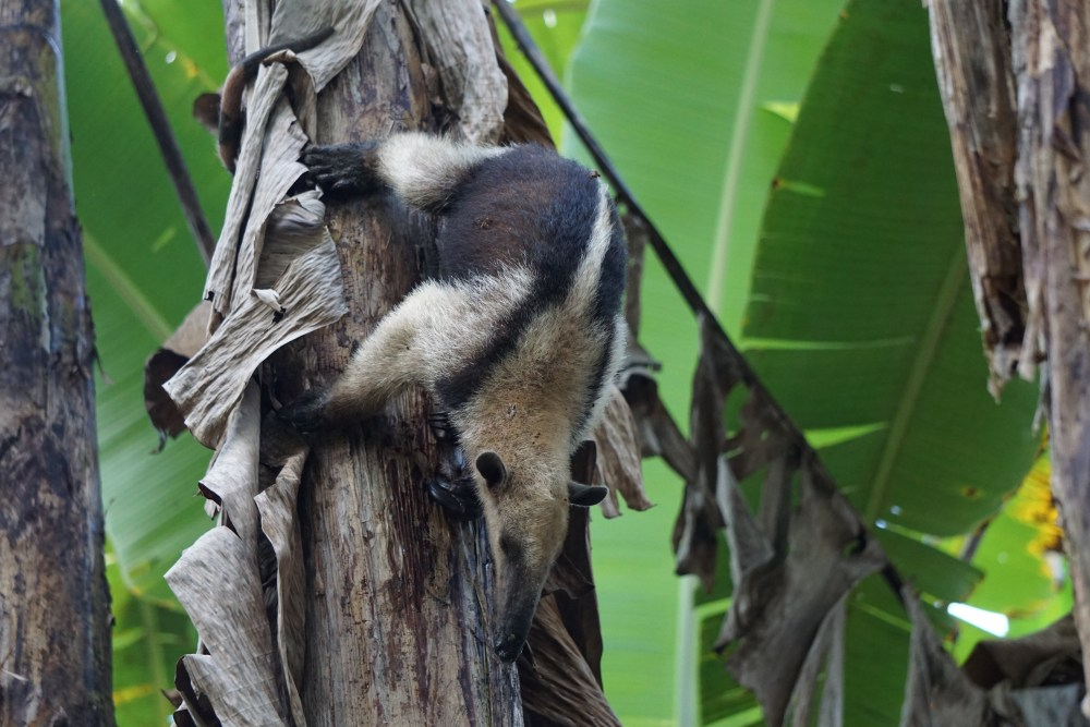 Miereneter in de tuin Anouk Pura Vida in Costa Rica