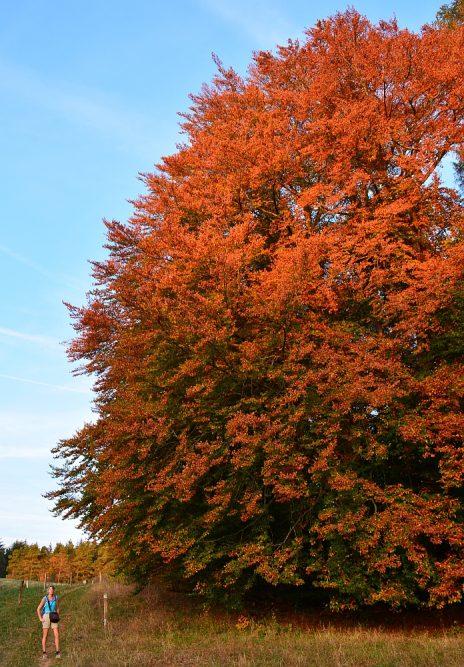 etappe van de Eifelsteig beukenboom in herfsttooi
