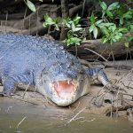 krokodillen in Australie Saltie