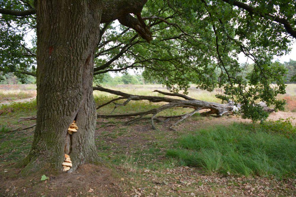 Paddenstoelen tijdens wandelen bij Wolfheze; de Wolfhezer heide en de Wodanseiken