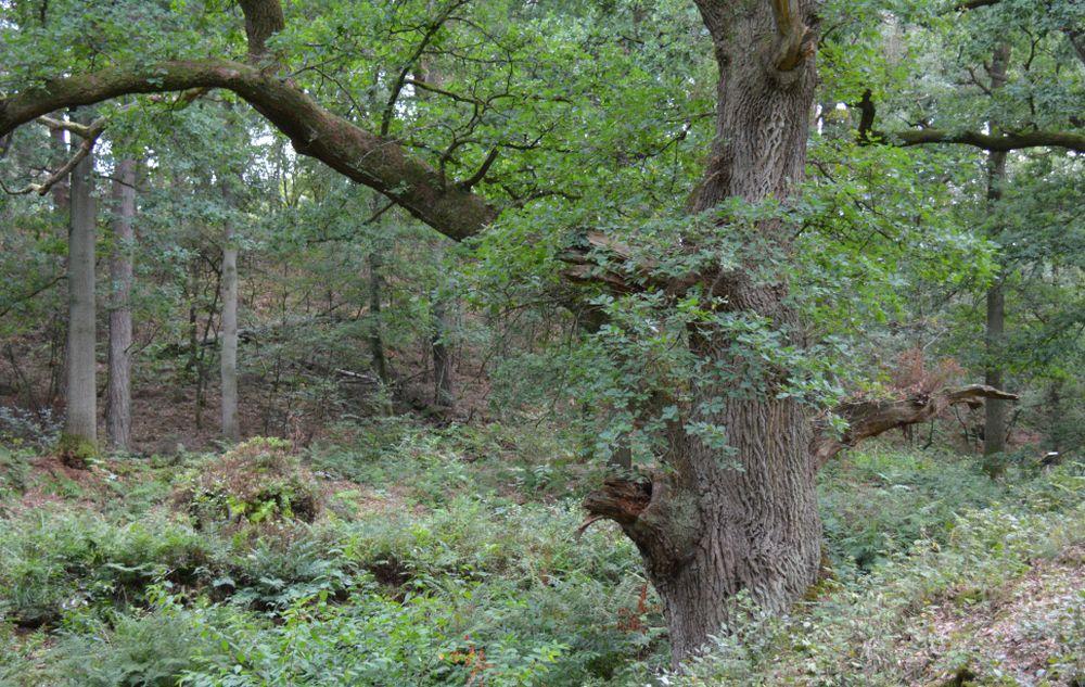 Wandelen bij Wolfheze route langs dede Wodanseiken