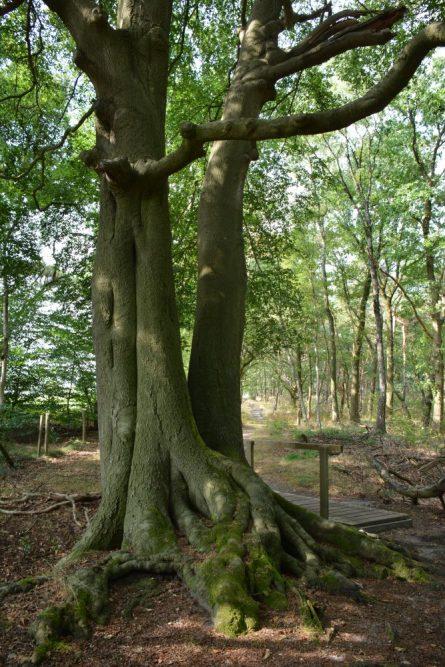 Wandelen bij Wolfheze oude beukenbomen