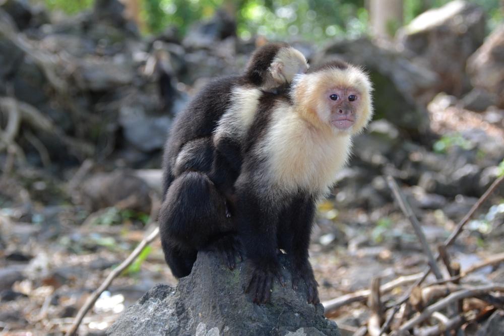 capucijneraapjes op Ometepe Nicaragua