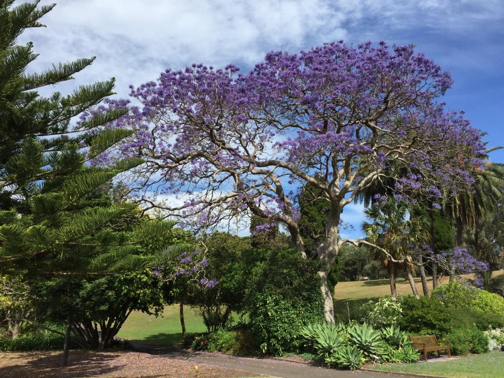 emigreren en werken in Australië Winnie Sydney Jacaranda