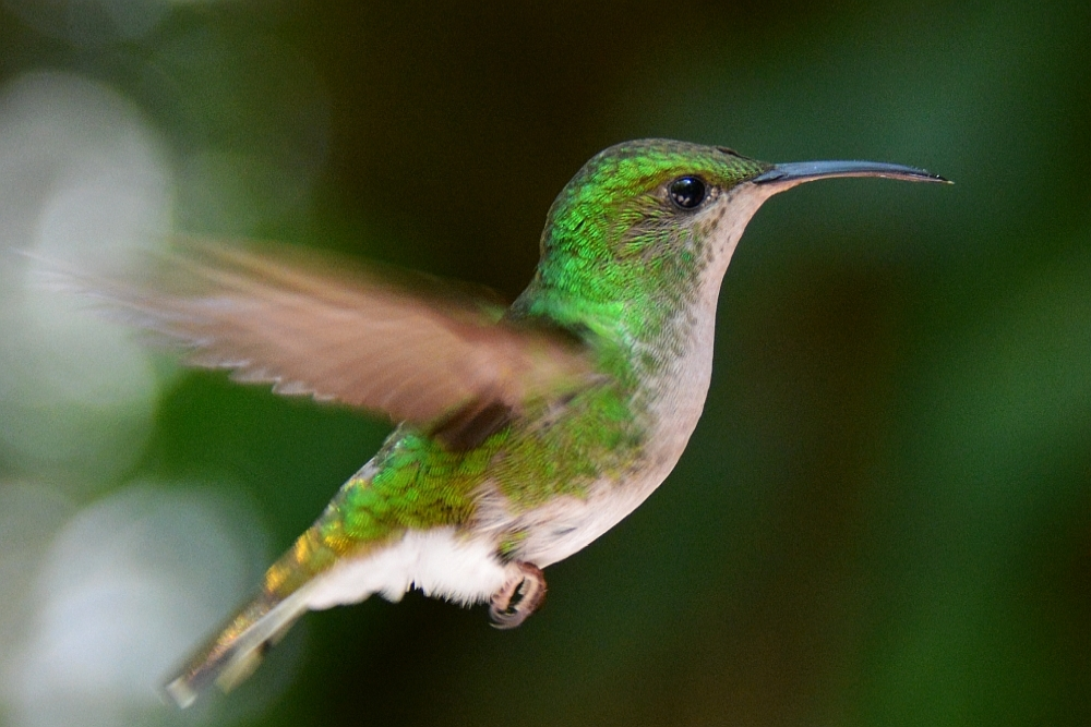 kolibri in Monte Verde backpacken Costa Rica