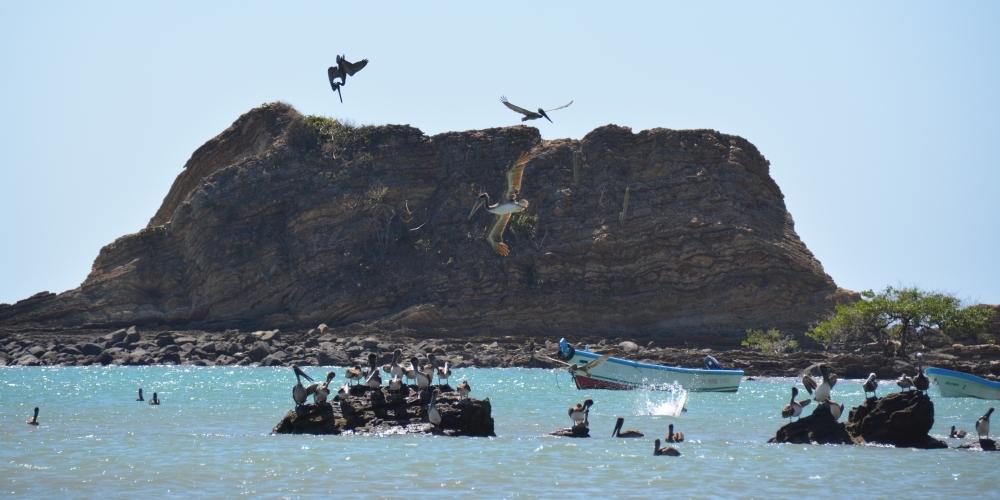 pelikanen op El Ostional Nicaragua